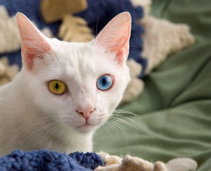 white cat staring